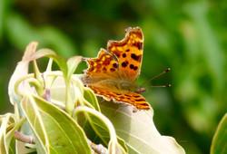 Comma_butterfly_©_Maria_Nunzia__Varvera__P1250088_1024