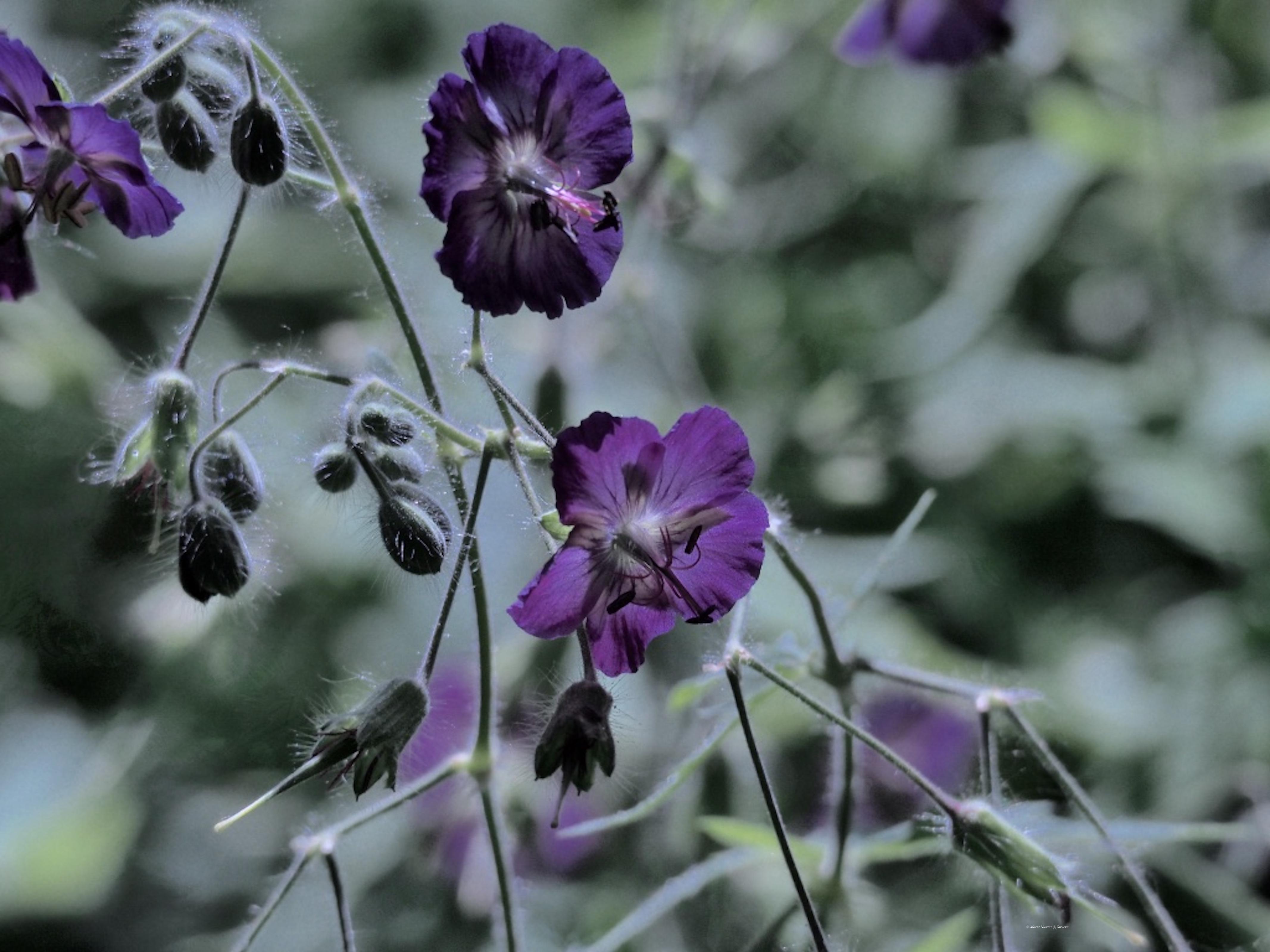 Garden_flowers_1_©_Maria_Nunzia__Varvera_