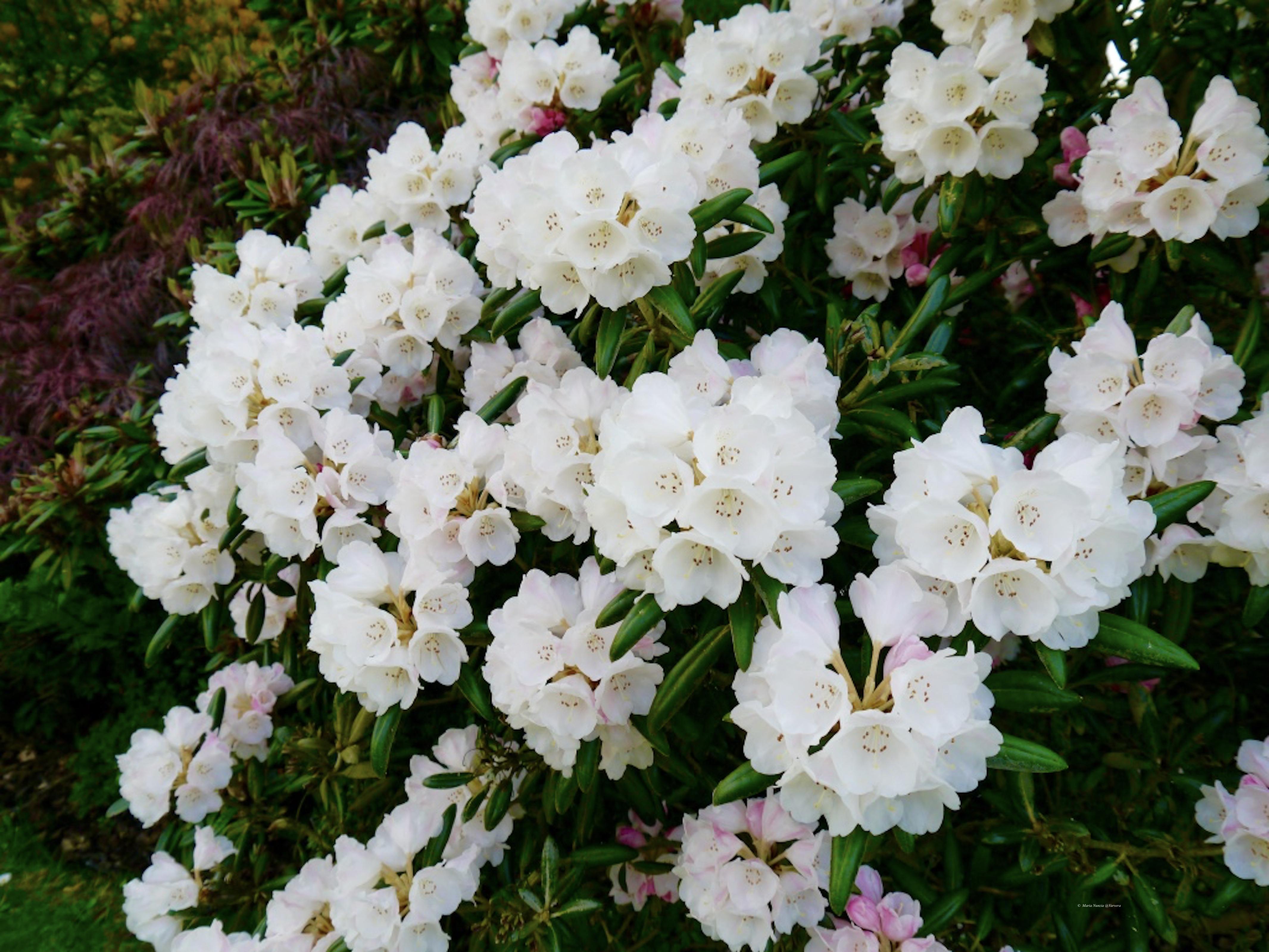 _Hodnet_Hall_Gardens_©__Maria_Nunzia__Varvera__P1460917_1024