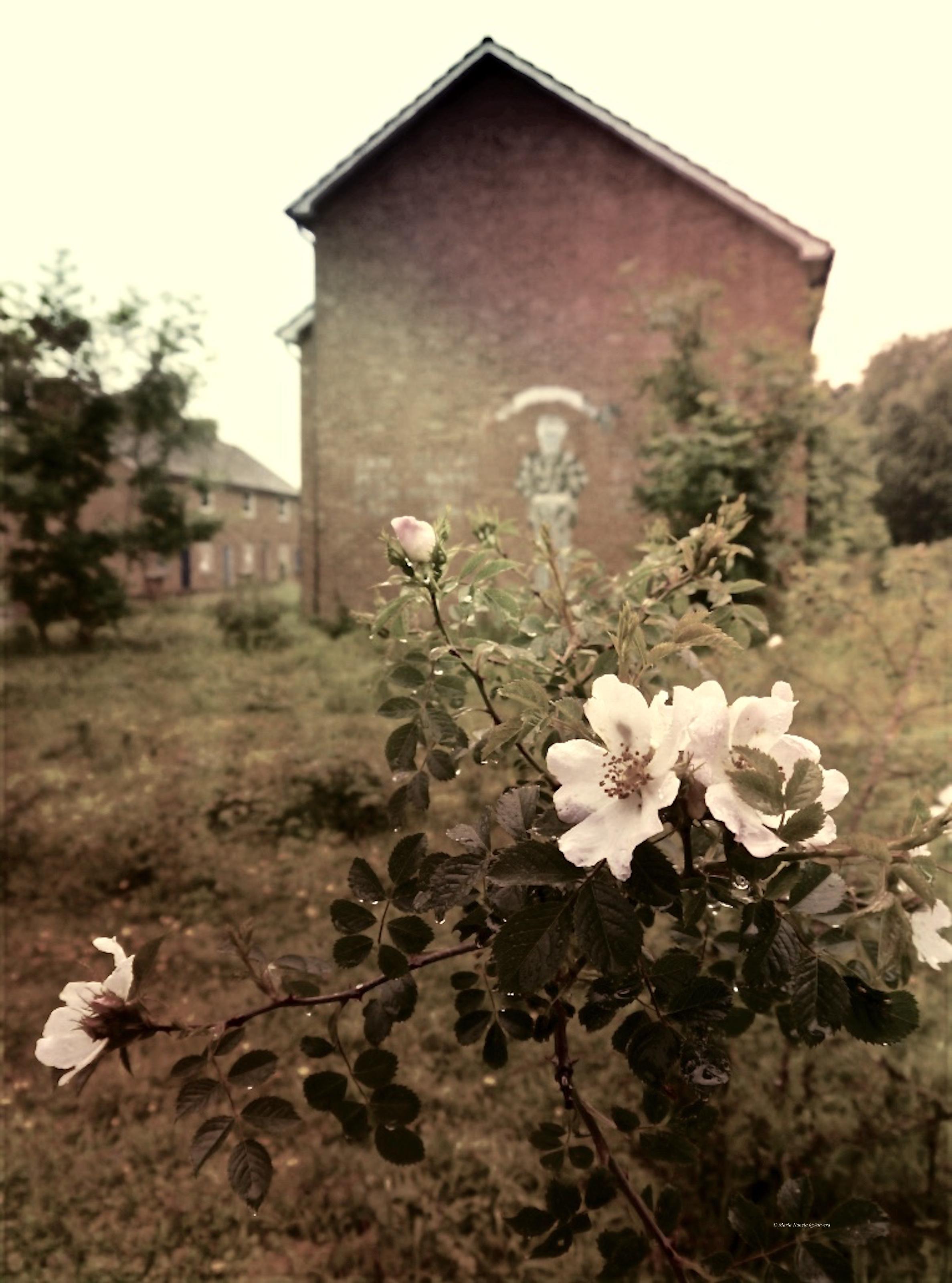 Lodge_Hill_Dog_rose__1024.jpg_©_Maria_Nunzia__Varvera_