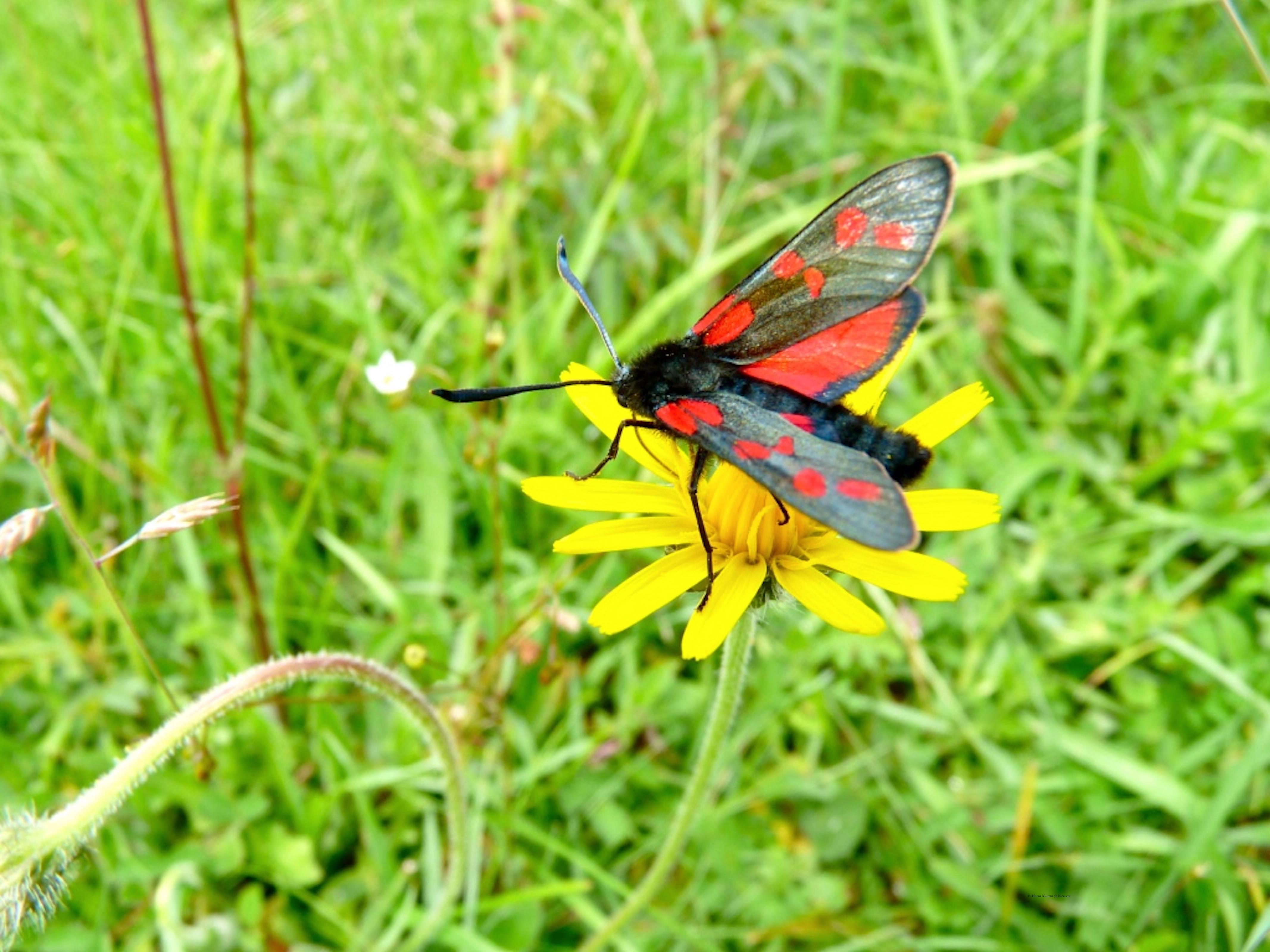 six_-spot_burnet_moth_3_©_Maria_Nunzia__Varvera_