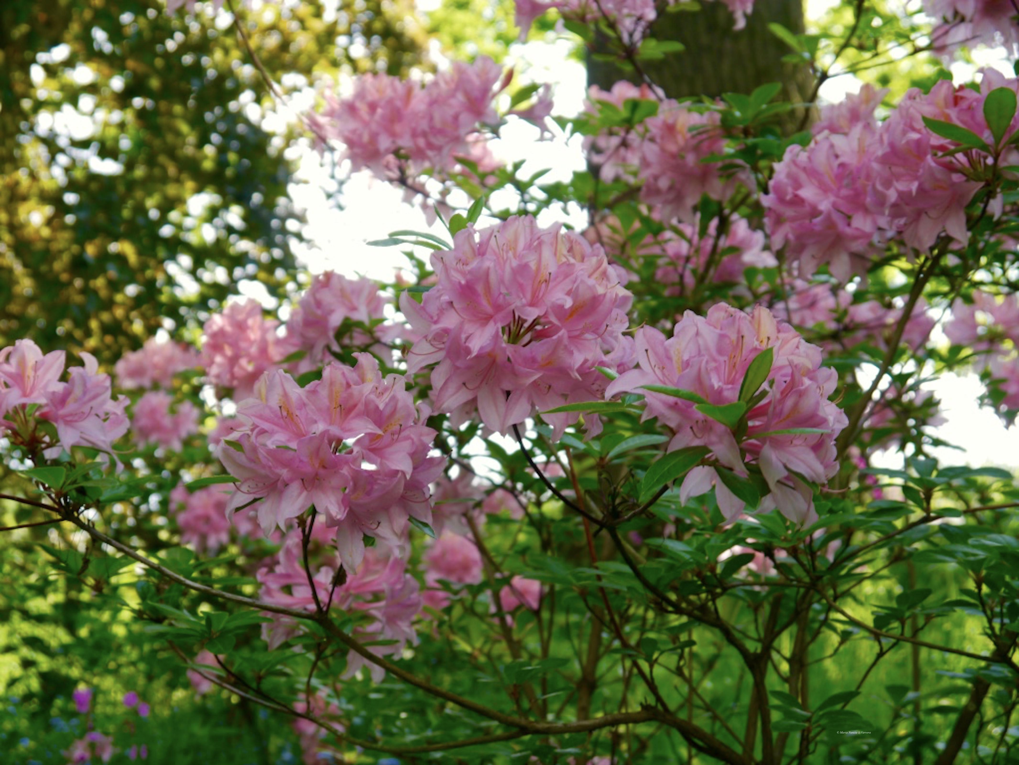 Garden_flowers_3_©_Maria_Nunzia__Varvera_