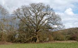 Oak Wenlock Edge _Varvera