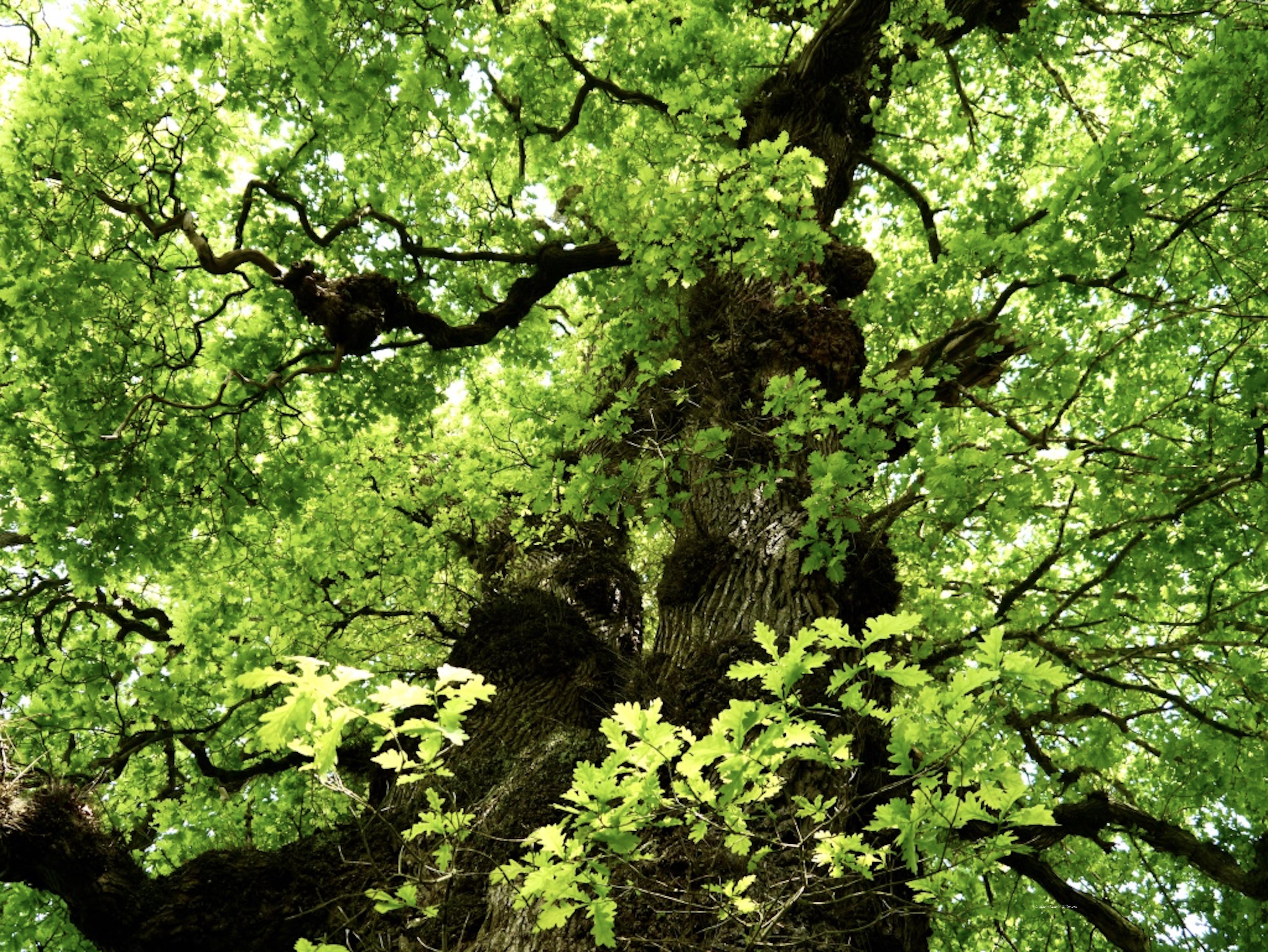 Oak_tree_©_Maria_Nunzia__Varvera_P1460961_1024