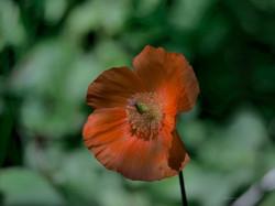 Welsh_Poppy_©_Maria_Nunzia__Varvera_