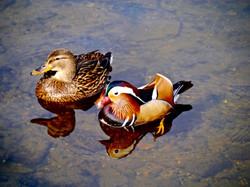 Mandarin_duck_with_malard_©_Maria_Nunzia__Varvera_