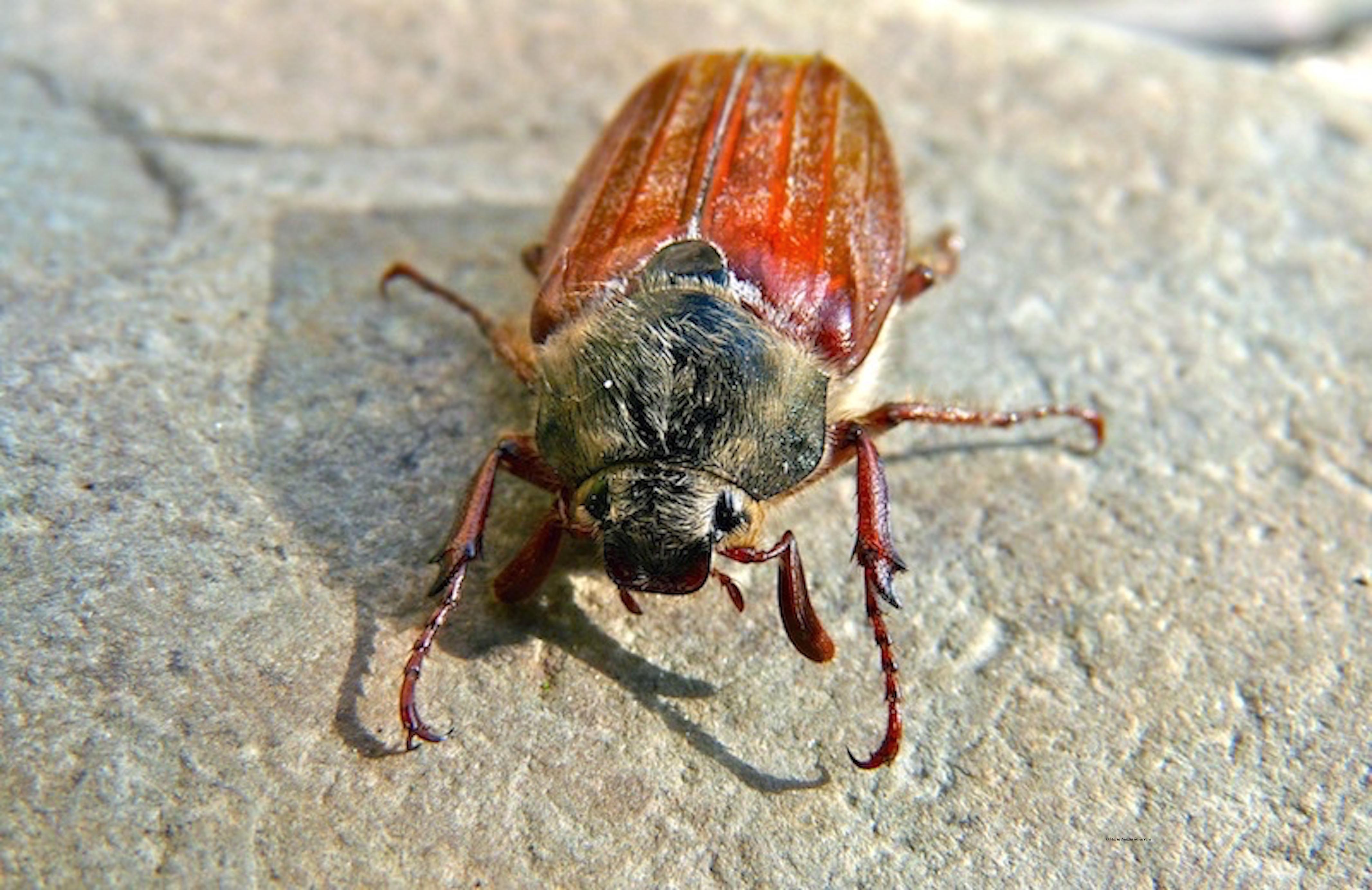 Cockchafer_beetle_©_Maria_Nunzia__Varvera_