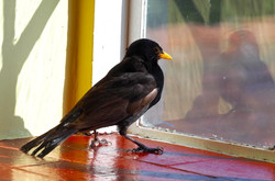 Blackbird in Bedroom Maria Nunzia _Varvera
