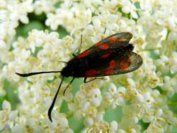 six_-spot_burnet_moth_4_©_Maria_Nunzia__Varvera_