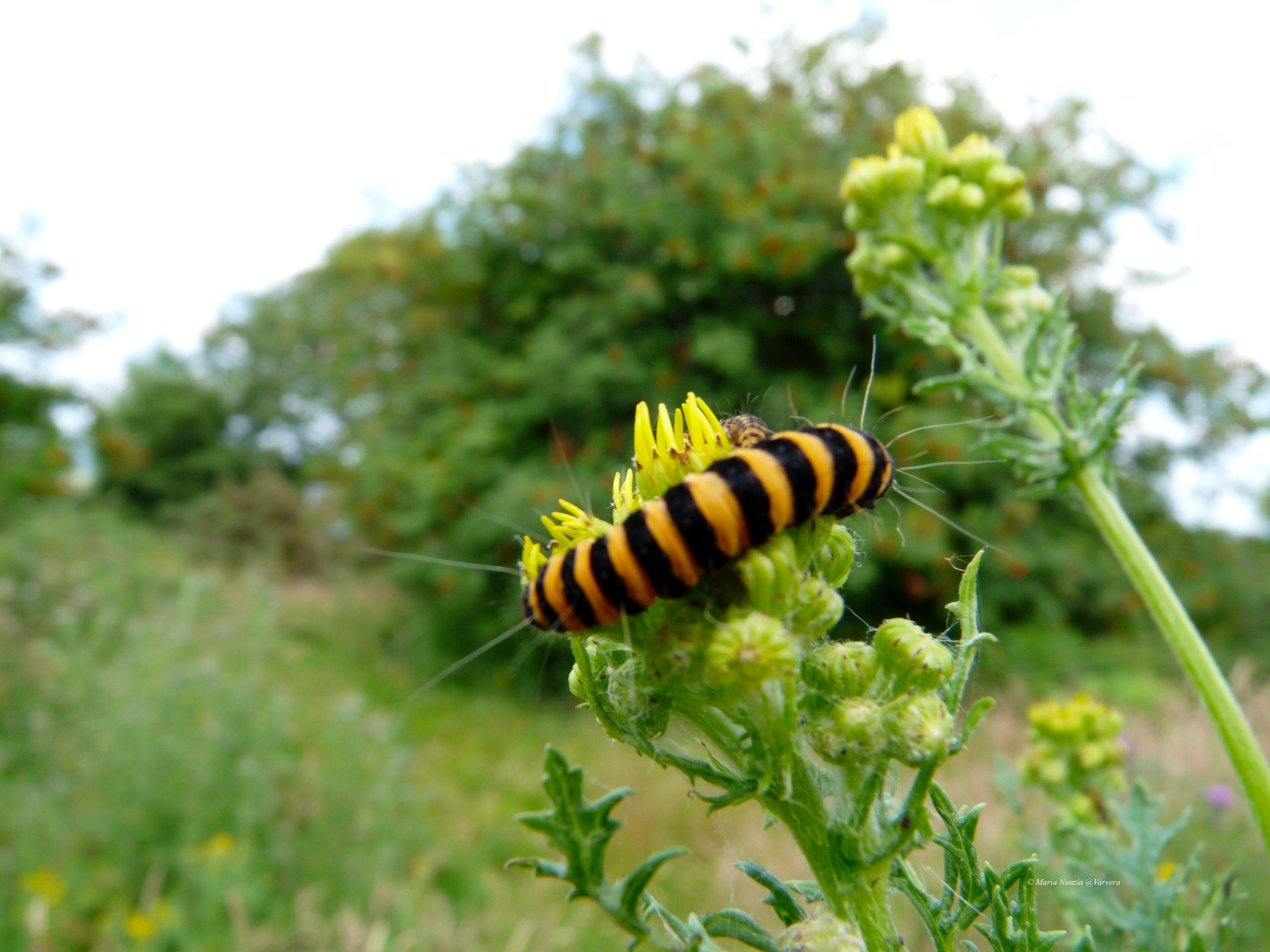 Cinnabar_Moth_Caterpiller_©_Maria_Nunzia__Varvera_