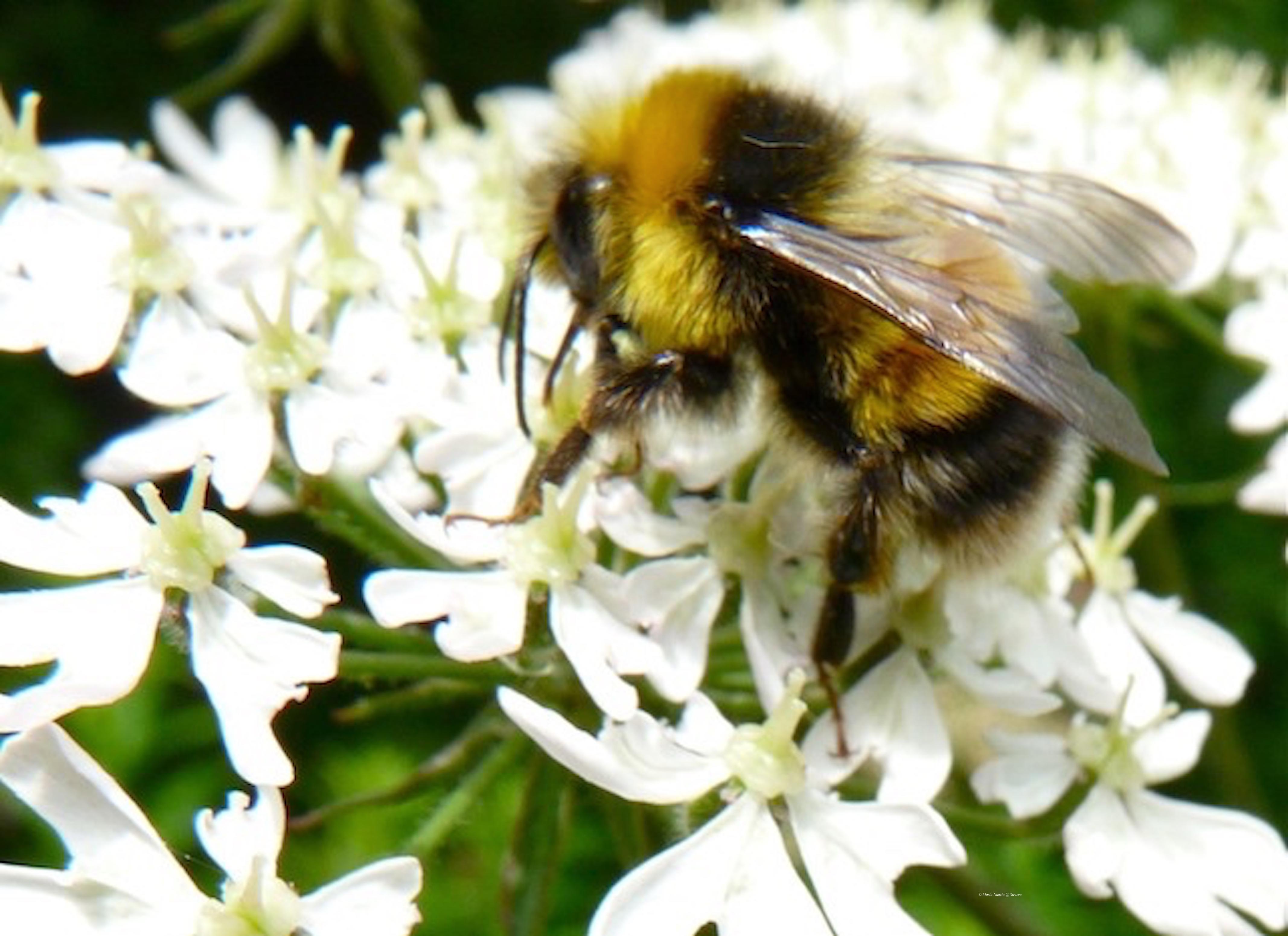 Bee_2_©_Maria_Nunzia__Varvera_