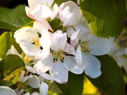 Apple_blossom_©_Maria_Nunzia__Varvera_