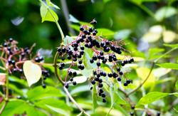 Elder_berries_on_Wenlock_Edge_©_Maria_Nunzia__Varvera_