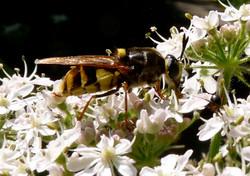 Wasp Maria Nunzia _Varvera