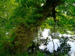 _Oak_tree_©_Maria_Nunzia__Varvera_P1460946_1024