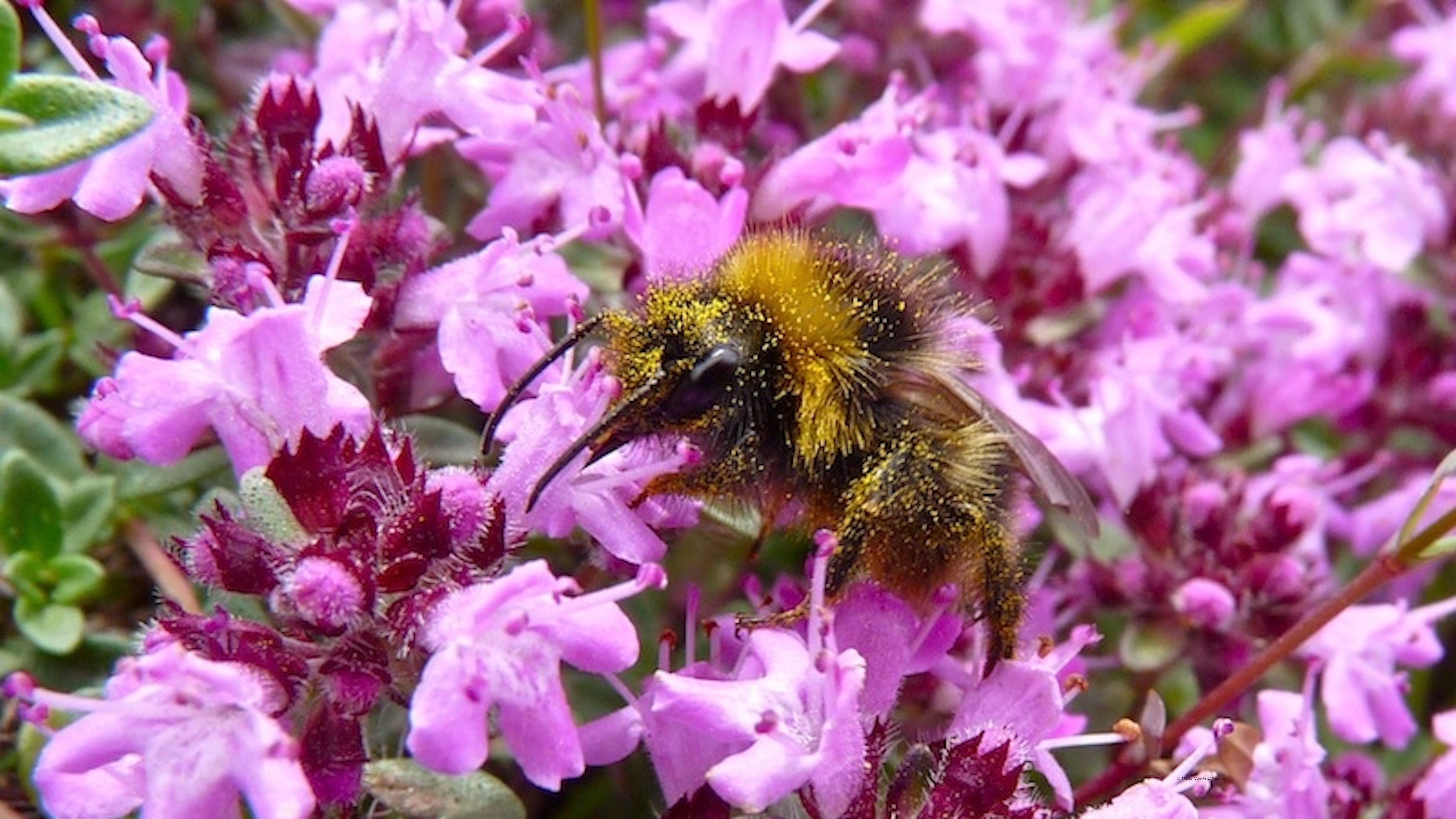 Bee_in_wild_thyme_flowers_©_Maria_Nunzia__Varvera_