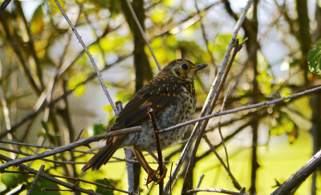 Thrush in hedge Maria Nunzia _Varvera