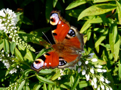 Peacock butterfly © Maria Nunzia