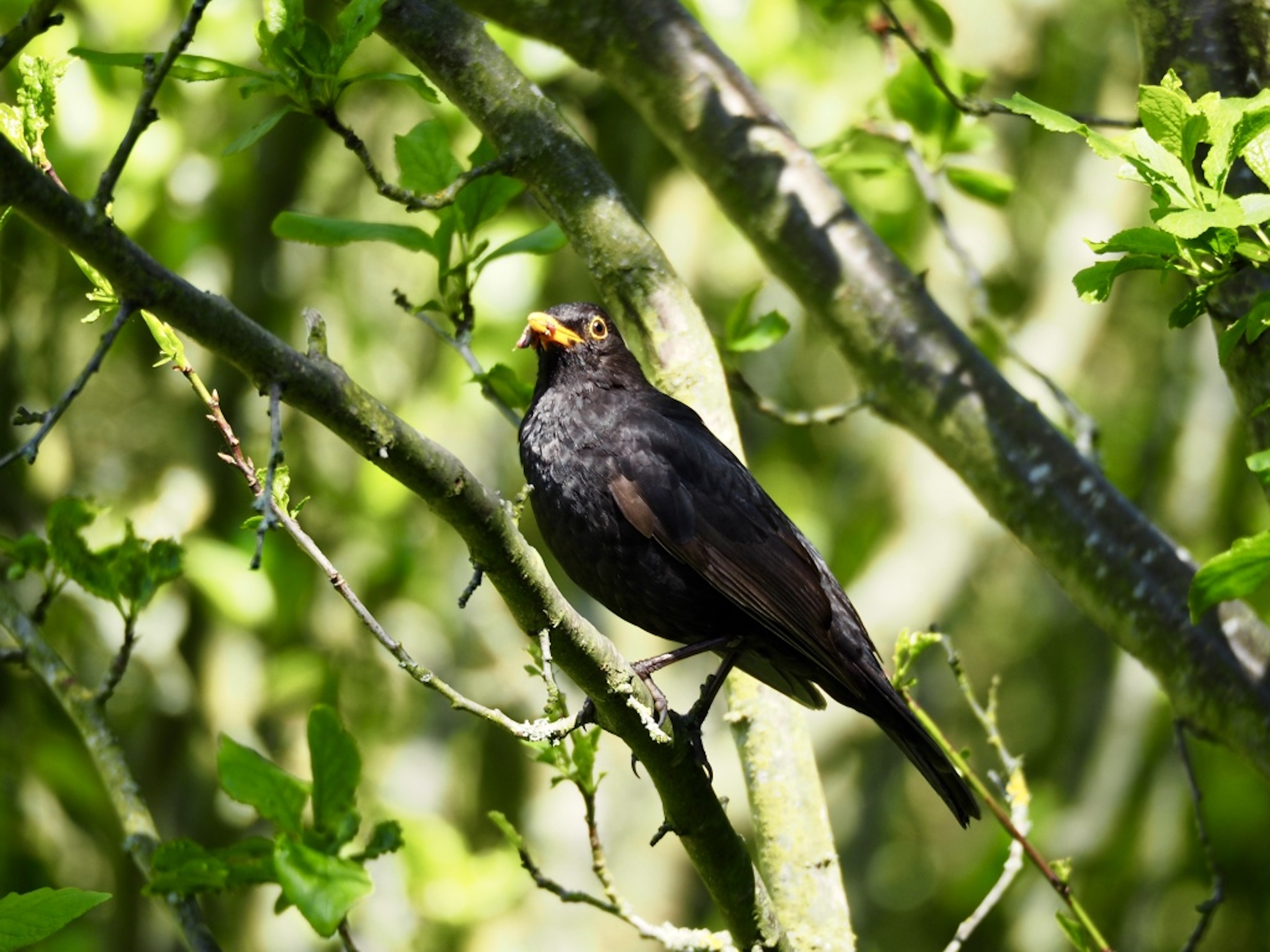 Blackbird by Maria Nunzia _Varvera