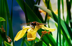 Dragonfly  by Maria Nunzia _Varvera