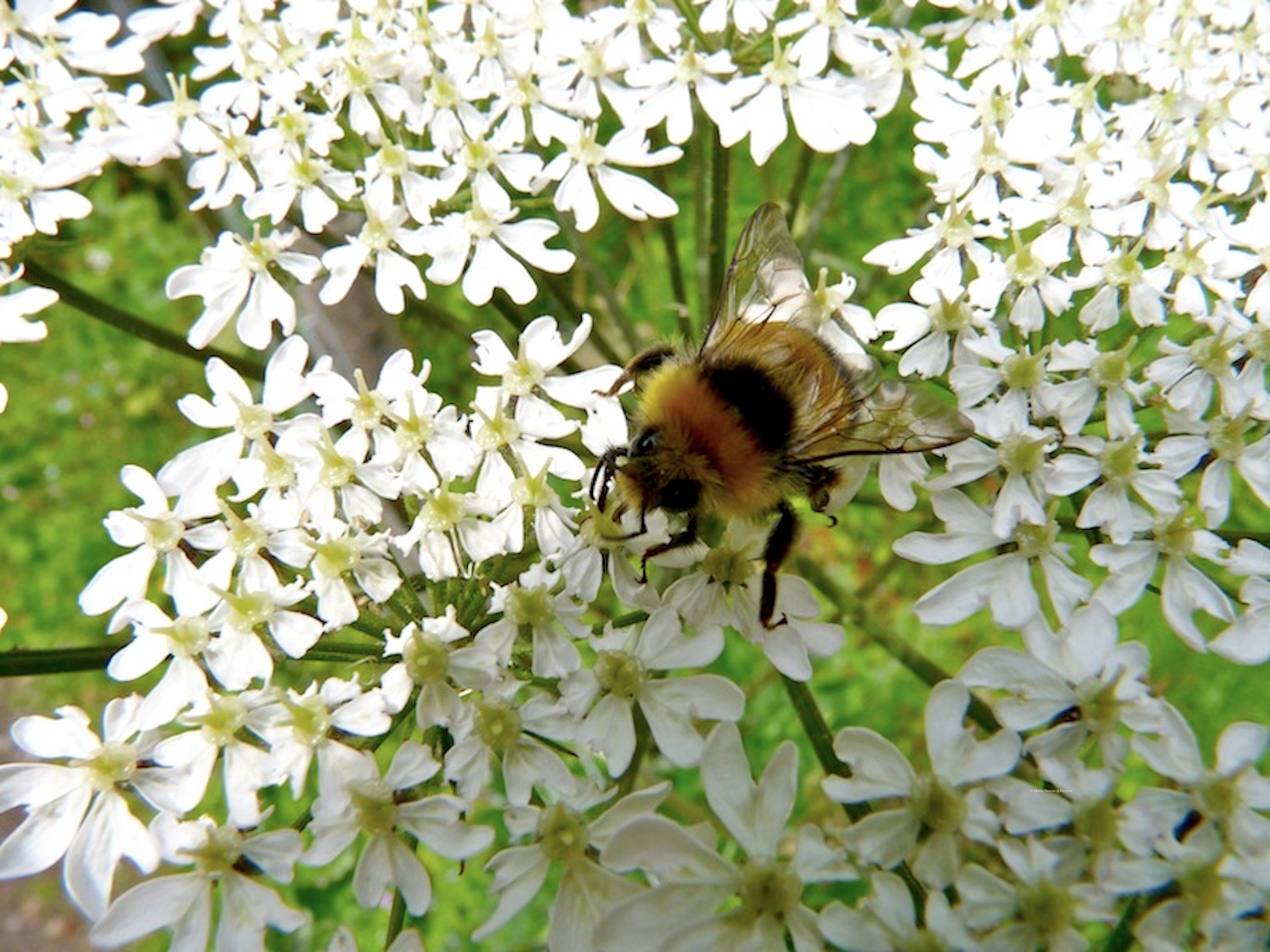 Bee_©_Maria_Nunzia__Varvera_