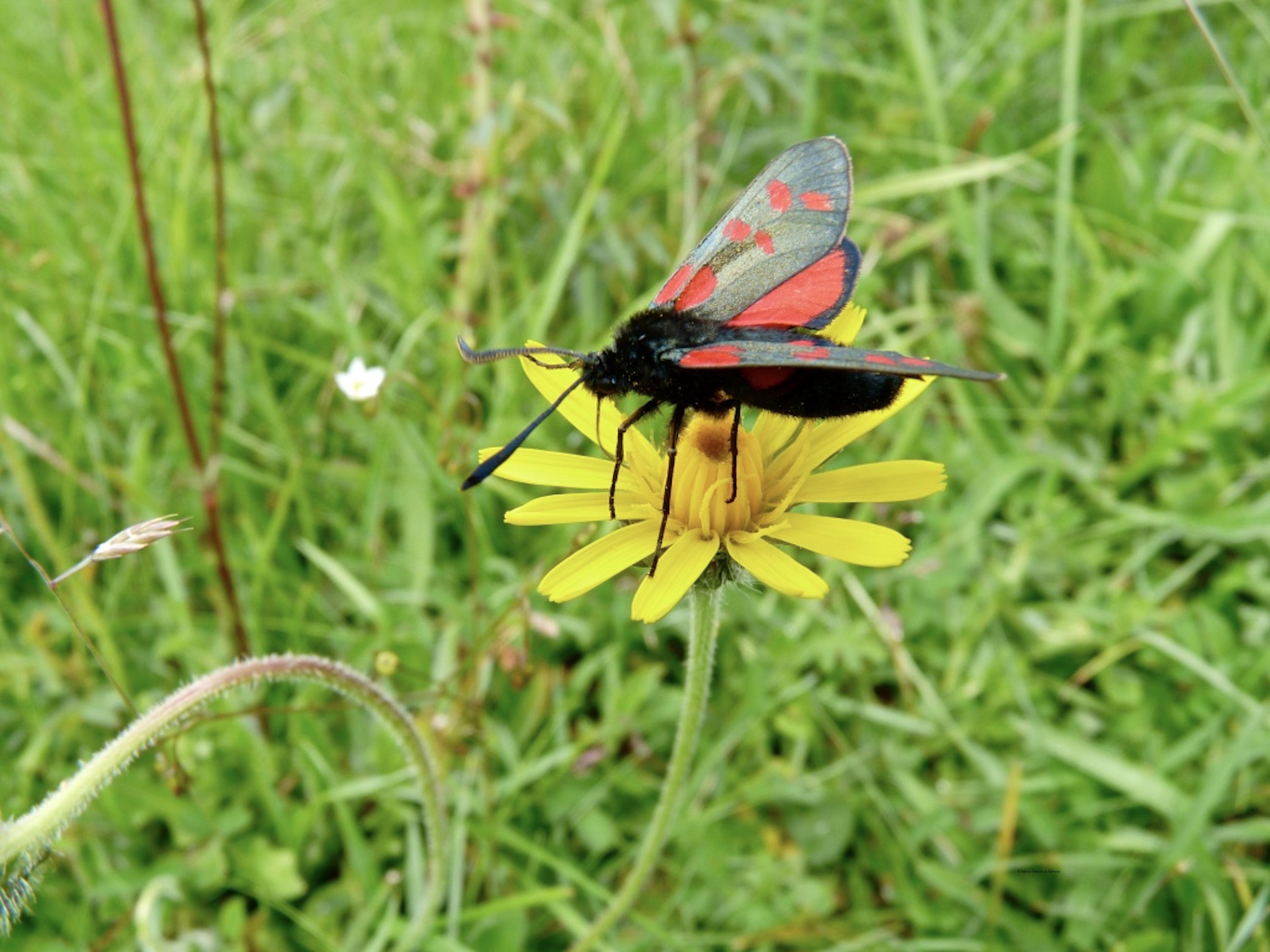 six_-spot_burnet_moth_2_©_Maria_Nunzia__Varvera_