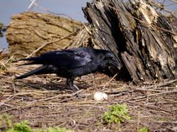 Crow with egg yoke
