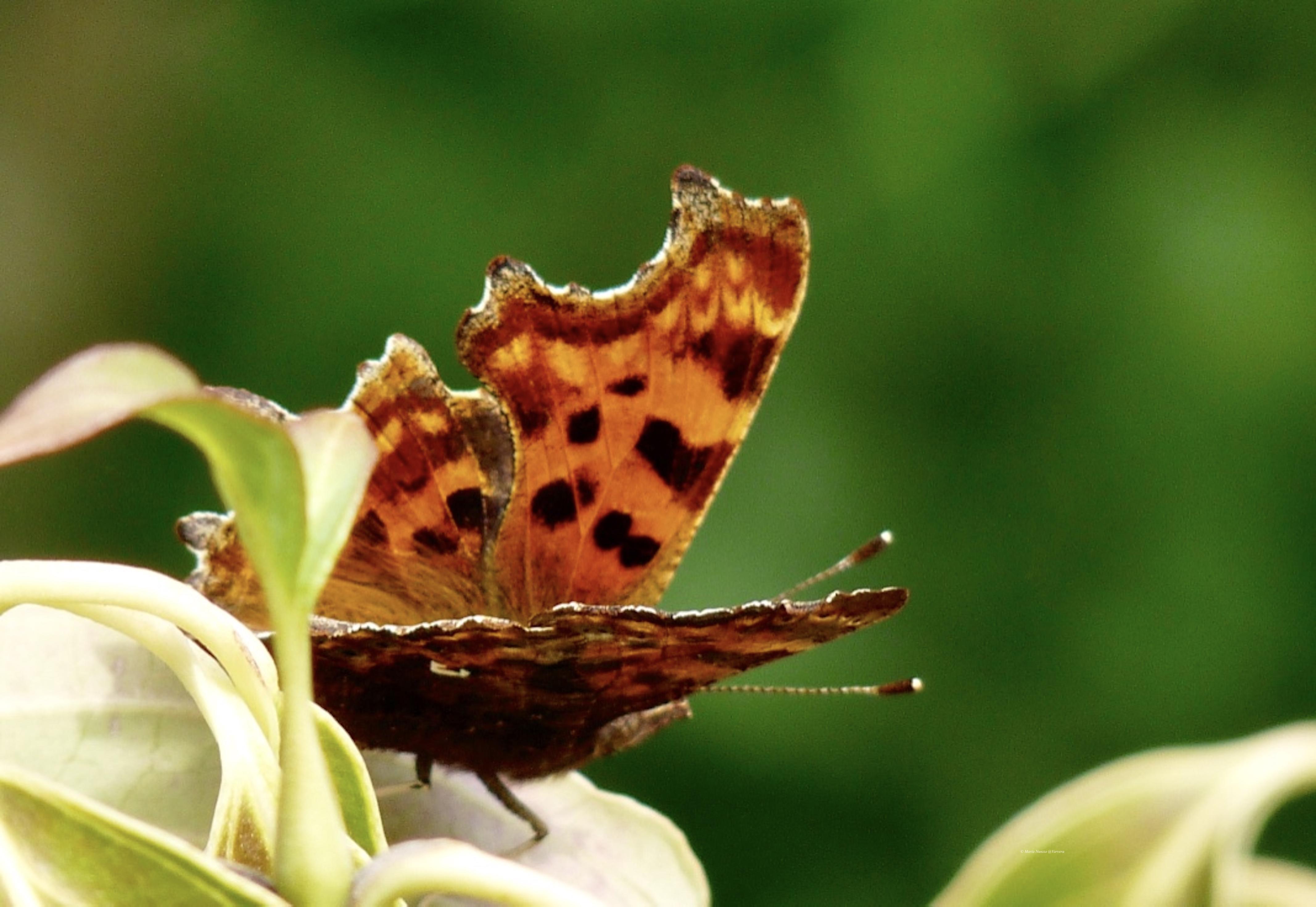 Comma_butterfly_©_Maria_Nunzia__Varvera_P1250082_1024