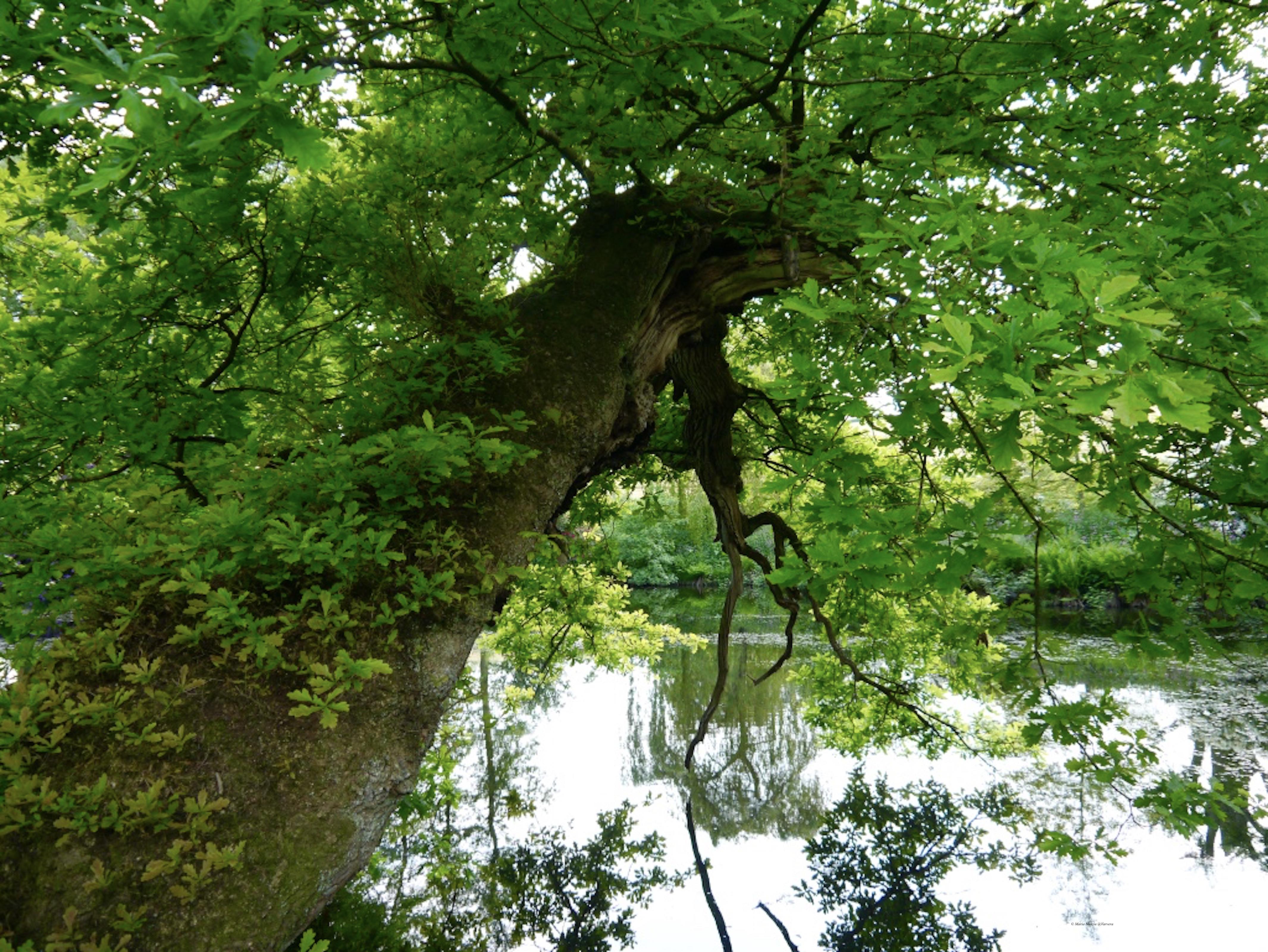 Oak_tree_©_Maria_Nunzia__Varvera_P1460948_1024
