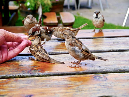 Sparrows feeding on Holy Island photograph taken by Maria Nunzia @Varvera