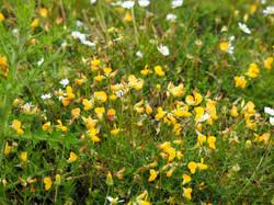 Wild_flowers_Lodge_Hill_P1010128_1024.jpg_©_Maria_Nunzia__Varvera_