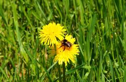 Bee on dandelion flower Maria Nunzia _Varvera