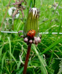 Ladybird Maria Nunzia _Varvera