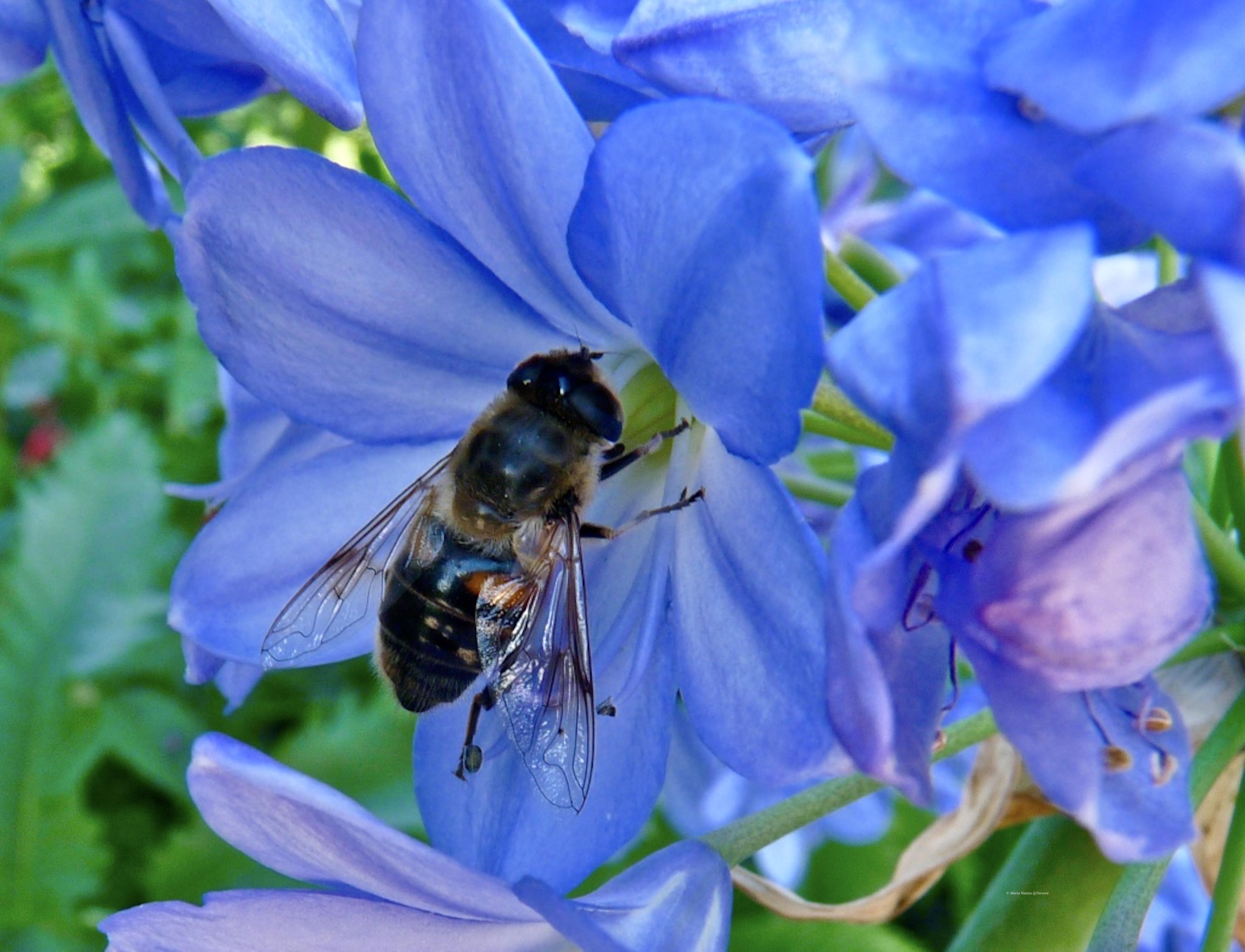 Bee_©_Maria_Nunzia__Varvera_P1240858_1024
