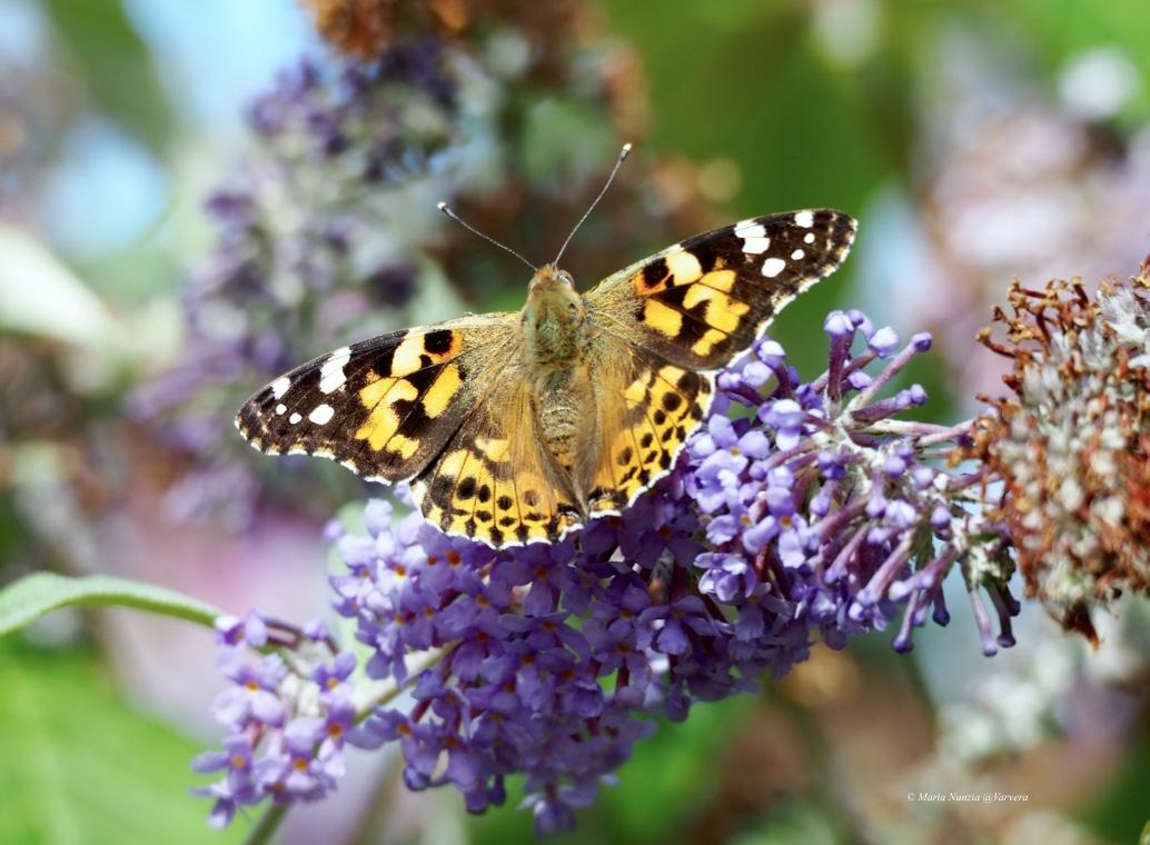 Great Butterfly Adventure