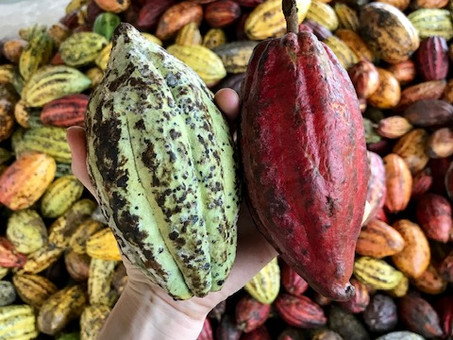 About Cacao