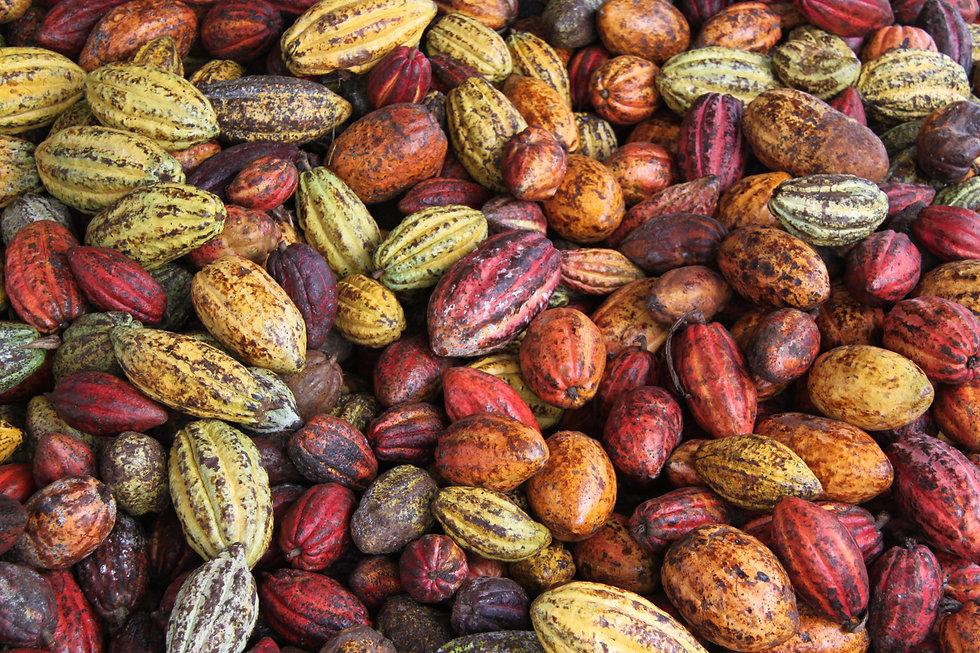 Cacao pods.jpg
