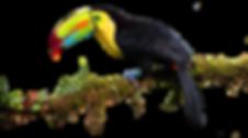 toucan-big-branch.png