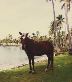 Dominikanisches Pferd