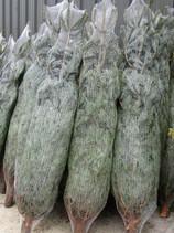 Christmas Trees (5).JPG