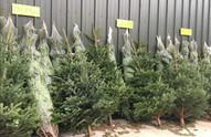 Christmas Trees (4).JPG
