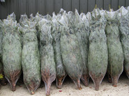 Christmas Trees (7).JPG
