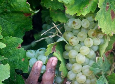 Federweisser Day - Celebrating our Chenin harvest