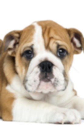 victorian-bulldog-puppy-home-page.jpg
