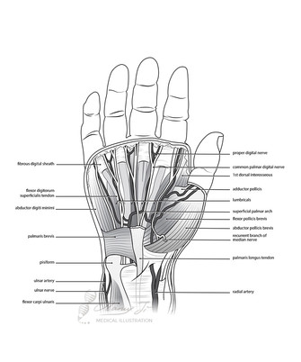 Dissection of the palm