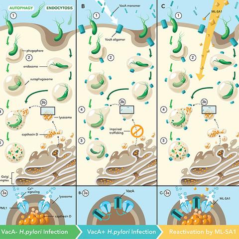 H.pylori in gastric epithelia