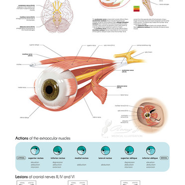 Cranial nerves of extraocular muscles