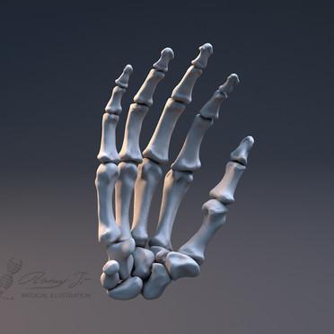 3D model of hand bones