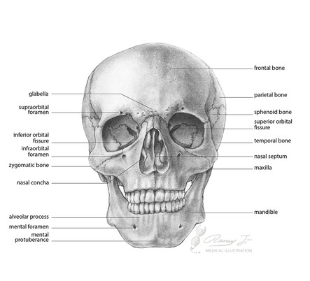 Anatomy of the human skull