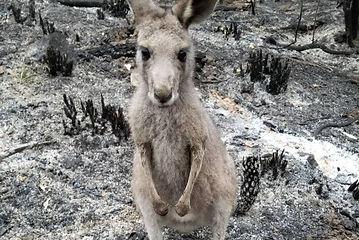 kangaroo.jpeg